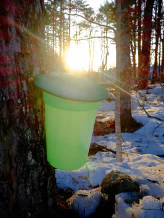 Maple trees tapped for syrup