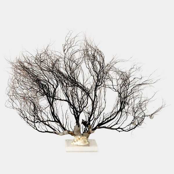 Natural Sea fan on lucite base front view