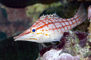 Reef Favourites: The Longnose Hawkfish