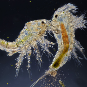 copepod-speed-and-strength