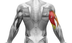 triceps exercice musculation et anatomie