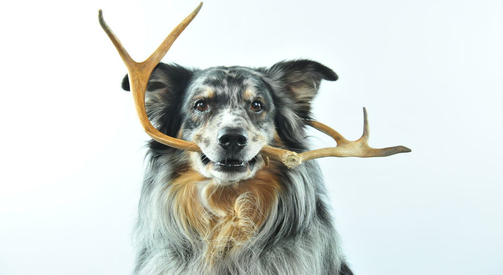 Deer antlers for dogs