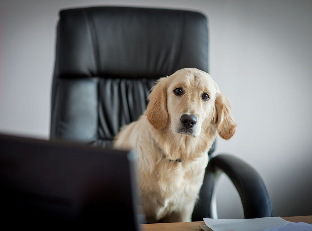 Office Dogs - Should Your Next Staff Member Have 4 Legs?