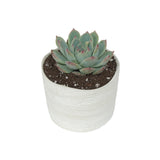 Delphi Pot  w/ Assorted Succulent