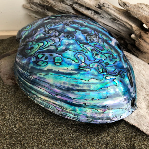 New Zealand Paua Shell (A Grade)
