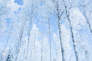 Frosty birches
