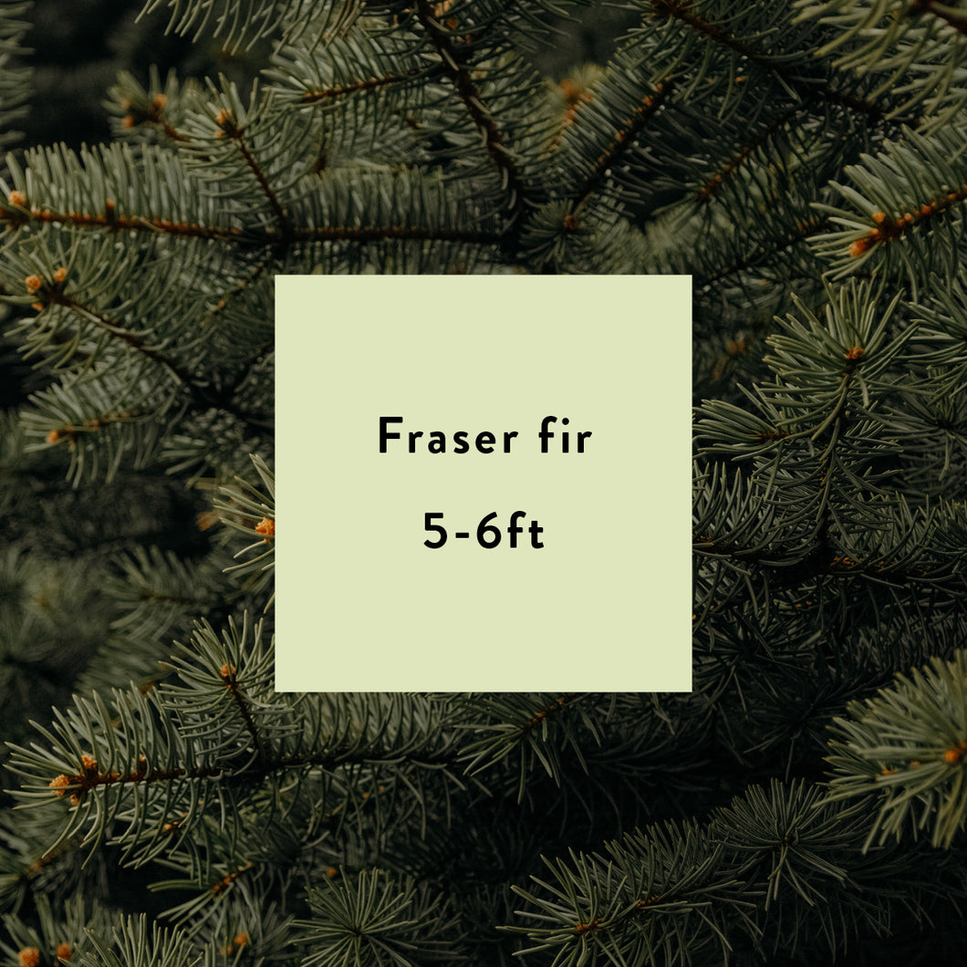 Fraser Fir Christmas Tree - 5 to 6 Ft