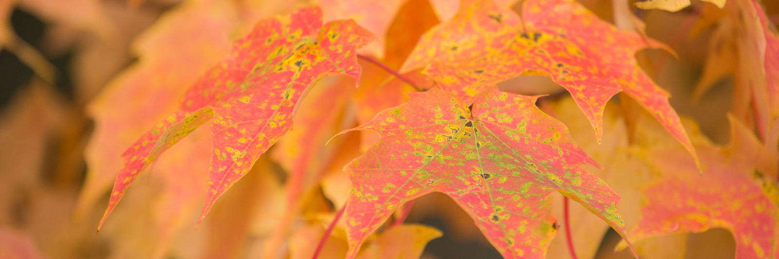 Maple Leaves Fall Foliage
