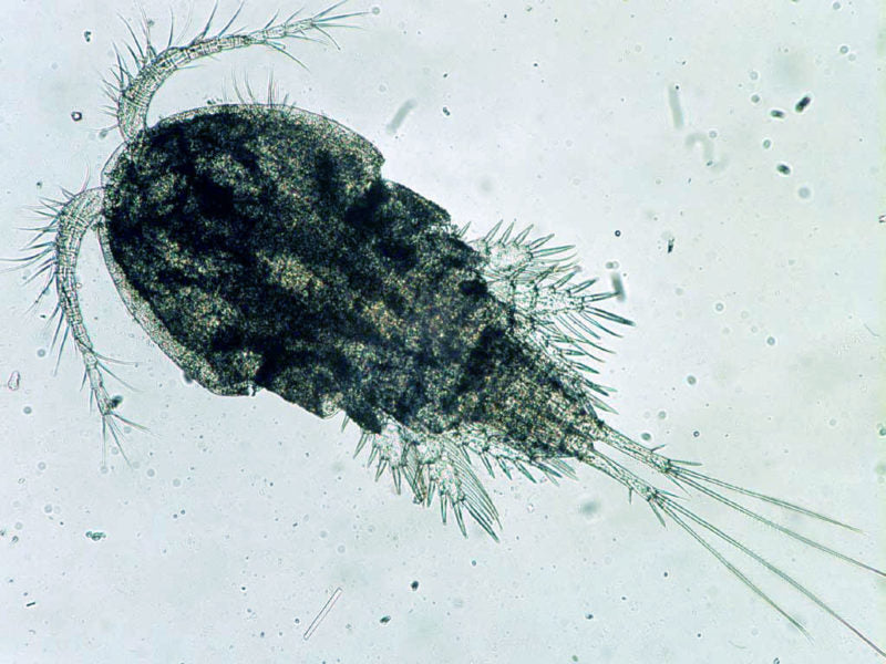 Copepods: More Than Just Reef Food