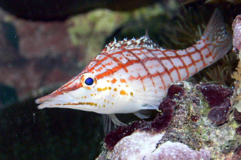 The Longnose Hawkfish
