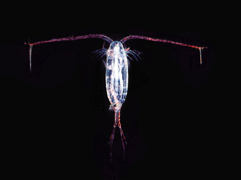 Copepod Life Stages