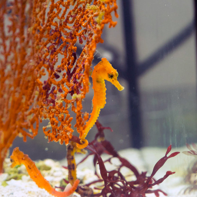 Seahorses and Copepods