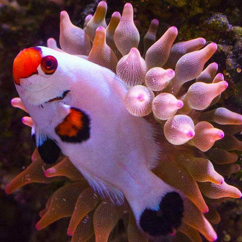 clownfish-and-coral