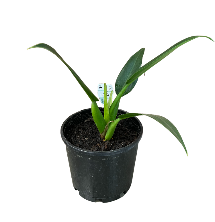 Philodendron Martinaum Fat Boy