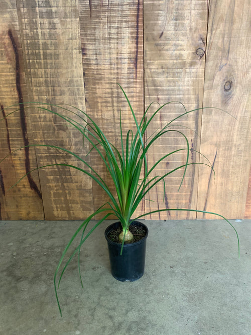 Beaucarnia Recurvata Pony Tail Palm
