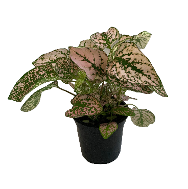 Polka Dot Plant Light Pink