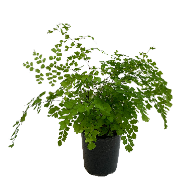 Adiantum Maiden Hair Fern