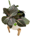 Fittonia Large Dark Green Leaf with Pink Veins - Nerve Plant
