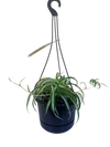 Curly Leaf Spider Plant