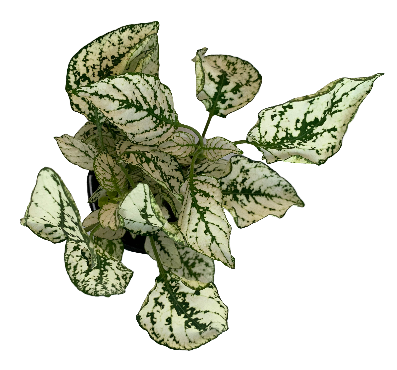 Polka Dot Plant White/Green