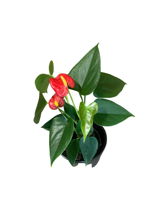 Anthurium Fiesta Red