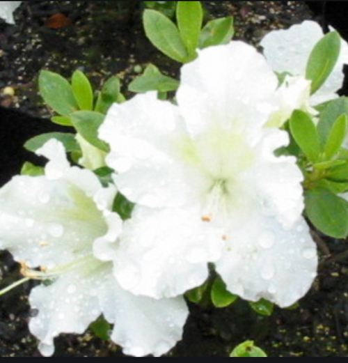 Azalea Evergreen Gumpo White