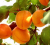 Apricot Clutha Gold