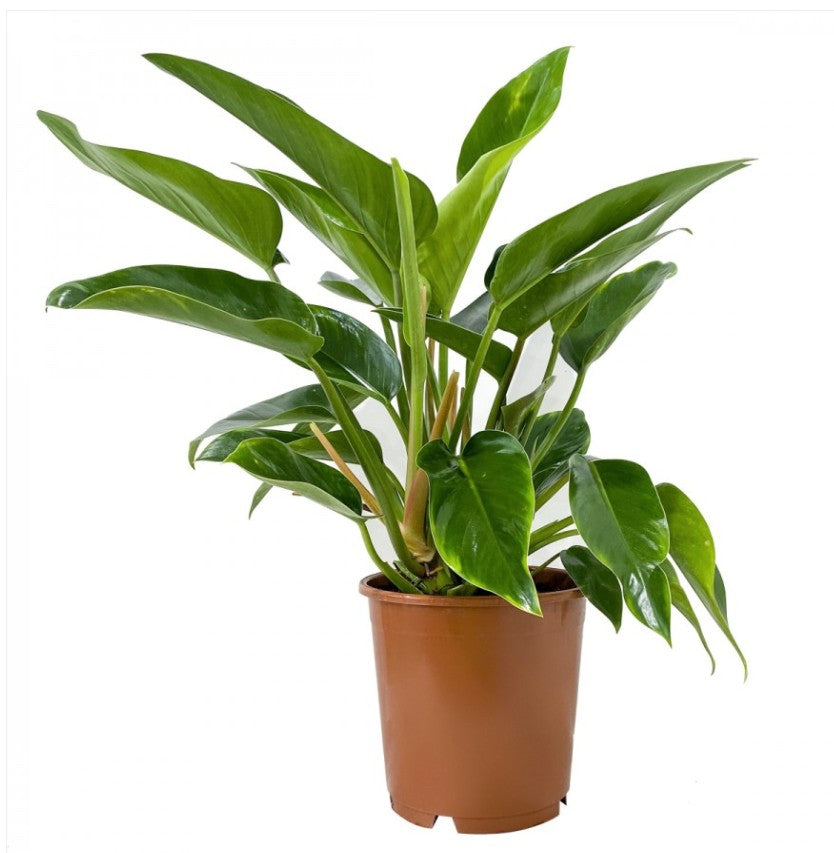 Philodendron Millions 120mm