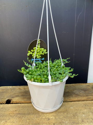 String of Pearls 13cm