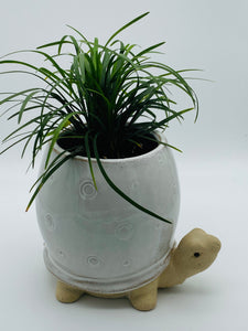 Turbo Turtle Planter with Mondo Grass plant - SOLD OUT