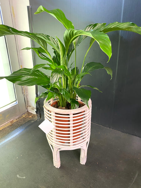 Peace Lily with White a ceramic Pot/Bamboo Planter