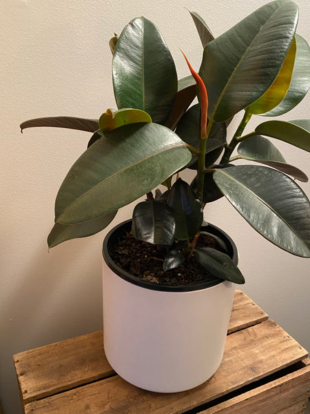Ficus Elastica Sofia 190mm & Ceramic Pot oblique White 190mm