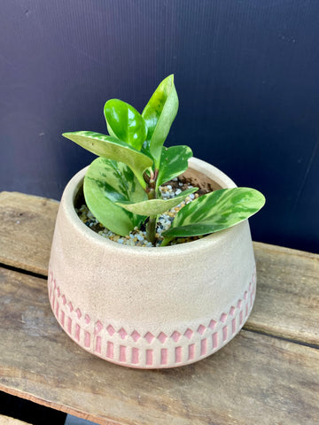 Peperomia Lemon & Lime potted into ceramic pink pot