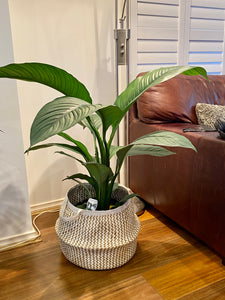 Giant Peace Lily 250mm