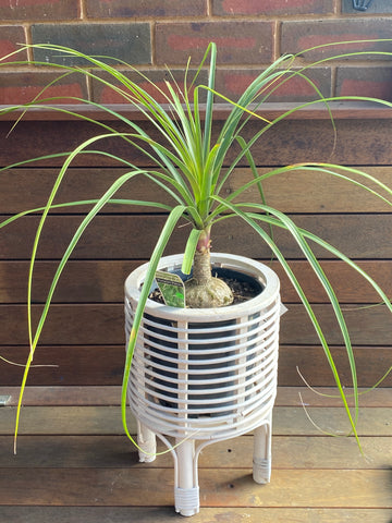 Bamboo Planter with Ponytail Palm
