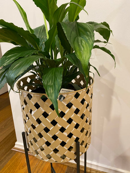 Medium Metal Weave Cane Stilted Planter with Plant