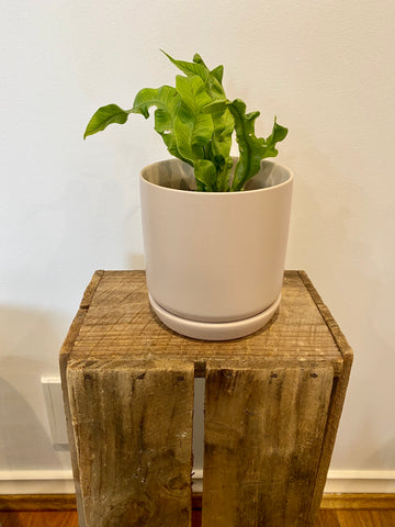 Small Oslo Planter Parcment with plant (can be potted)