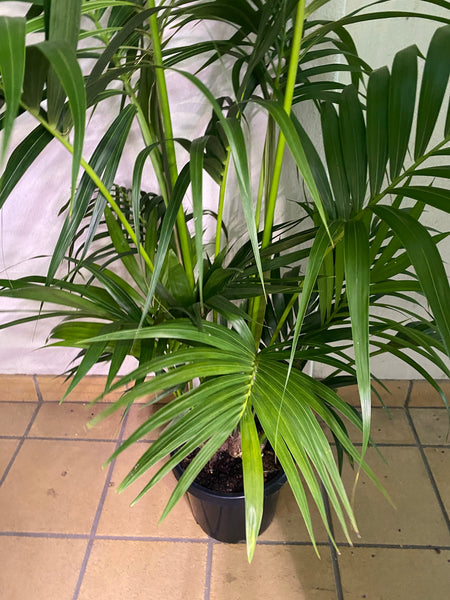 Kentia Palm 300mm