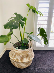 Monstera Deliciosa 25cm & Planter