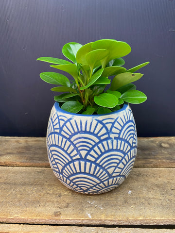Blue shell pot and Peperomia Obtusifolia