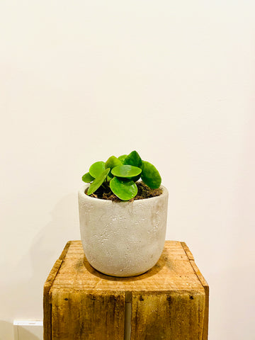Cement Pot with Plant
