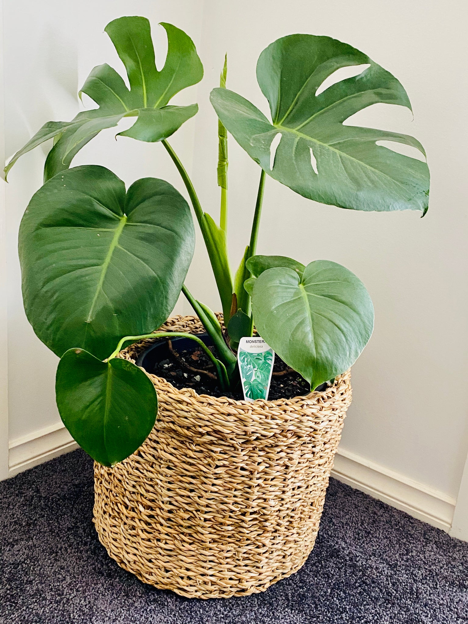 Monstera Deliciosa 25cm & Seagrass Basket