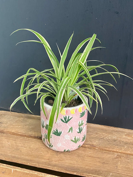 Funky pink pot with Spider plant