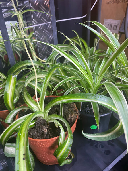 Spider Plants 10cms and 12cms Pots