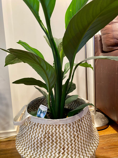 Giant Peace Lily with basket