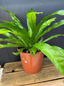 Asplenium Nidus/Birds Nest Fern 190mm