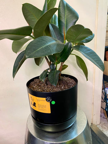 Ficus Robusta potted in Mr Kitly 250mm pot