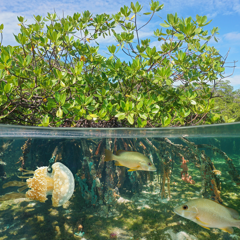 Under water mangroves and fish.