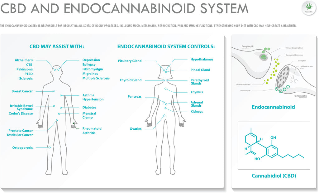 CBD info graphic of the how cannabinoids interect with the endocannabinoid receptors
