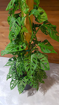 Swiss Cheese Monstera